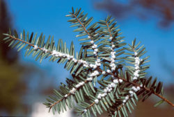 Hemlock woolly adelgid is a common pests affecting hemlocks and evergreens.