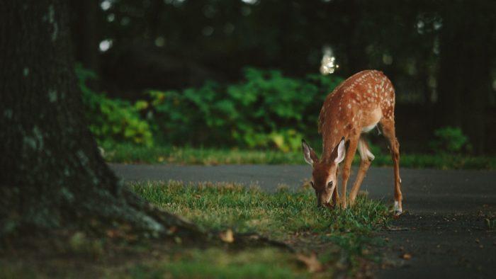 deer calf