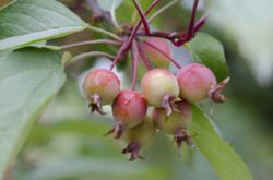 crab apple tree